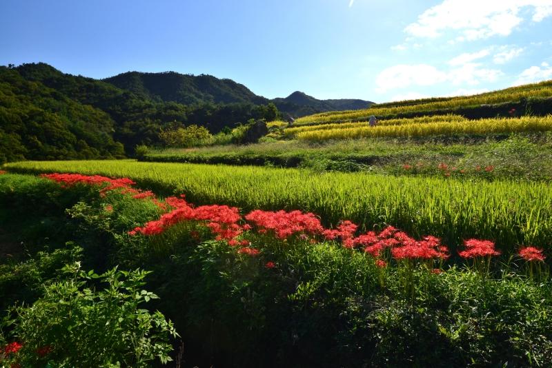 「実りの棚田1」  (香川県小豆島)