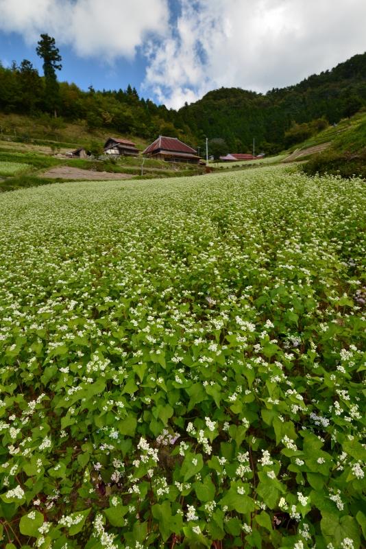 「満開の蕎麦花」 (香川県まんのう町)