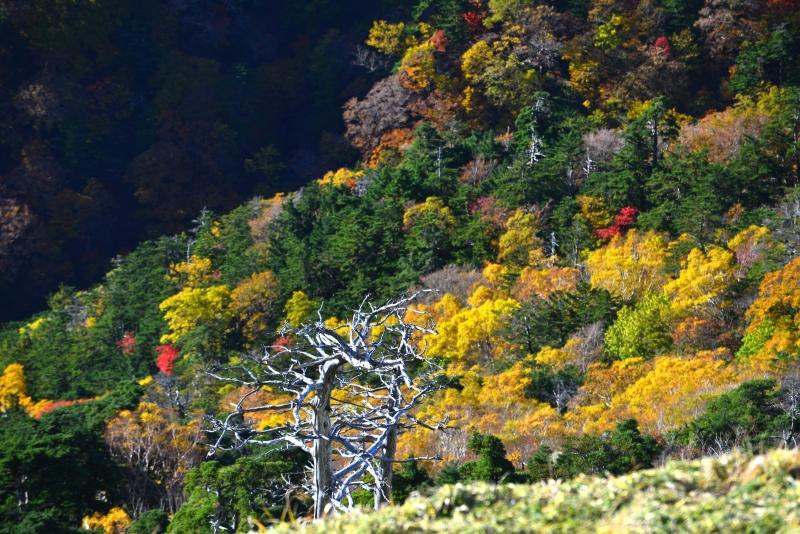 「黄葉と白骨林」 (徳島県剣山~次郎笈)