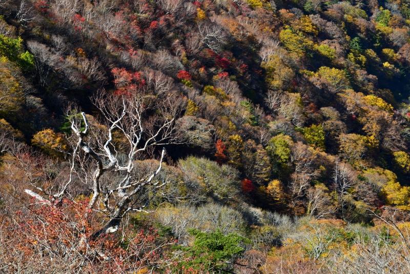 「白骨林とダケカンバ林」 (徳島県剣山~次郎笈)