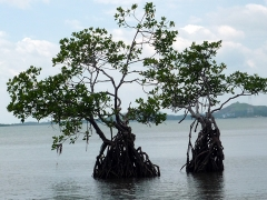 マングローブの成木