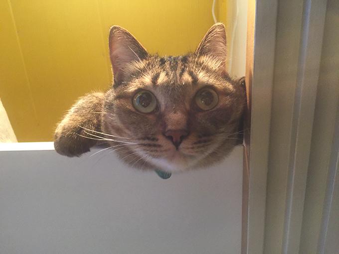 2015年07月08日撮影のキジトラ猫クーちゃん