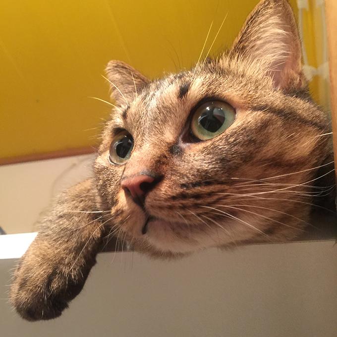 2015年08月01日撮影のキジトラ猫クーちゃん