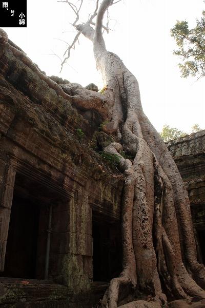 木が遺跡を侵食する