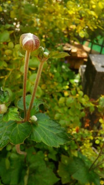 279蕾秋明菊