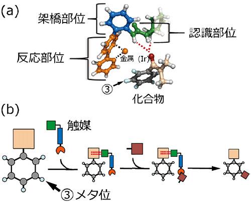 芳香環上の官能基を認識することでメタ位に選択的に官能基を導入するロボットアーム触媒