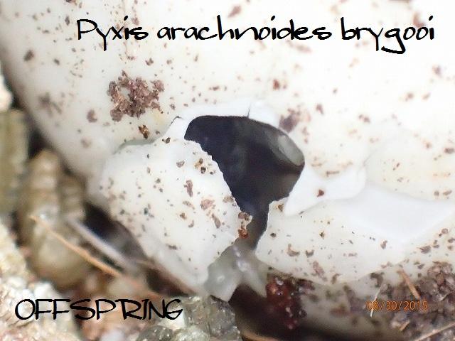 Pyxis arachnoides brygooi2015cb02