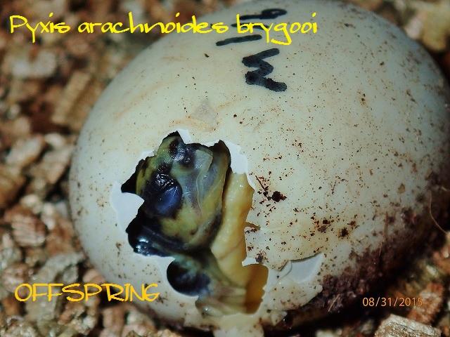 Pyxis arachnoides brygooi2015083102