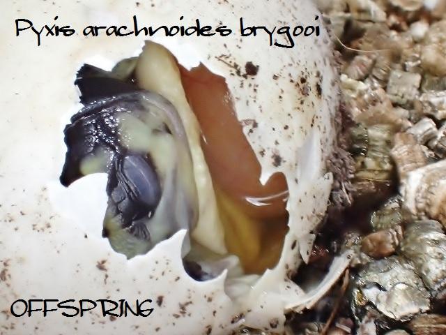 Pyxis arachnoides brygooi2015083103
