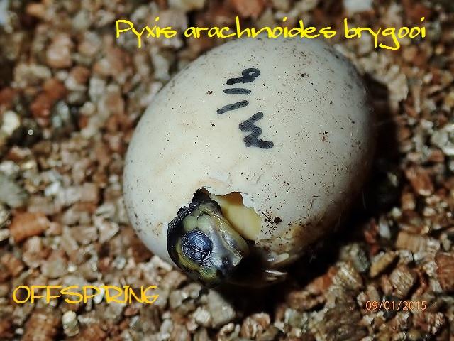 Pyxis arachnoides brygooi2015090101