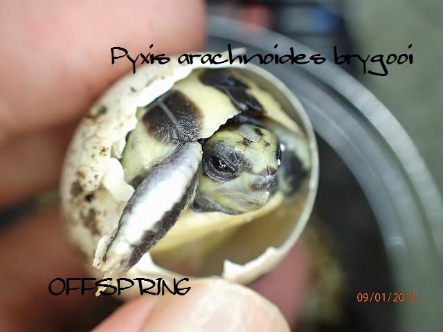 Pyxis arachnoides brygooi2015090103