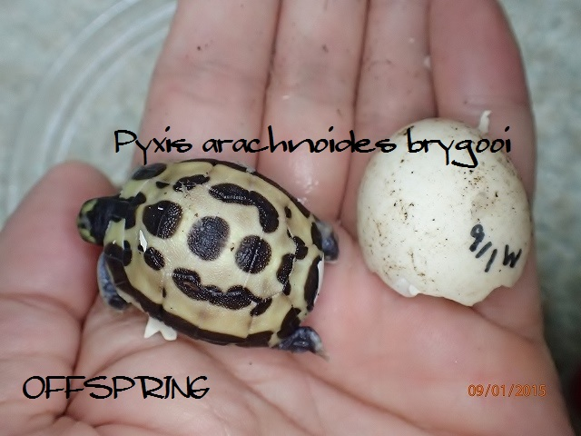 Pyxis arachnoides brygooi2015090106