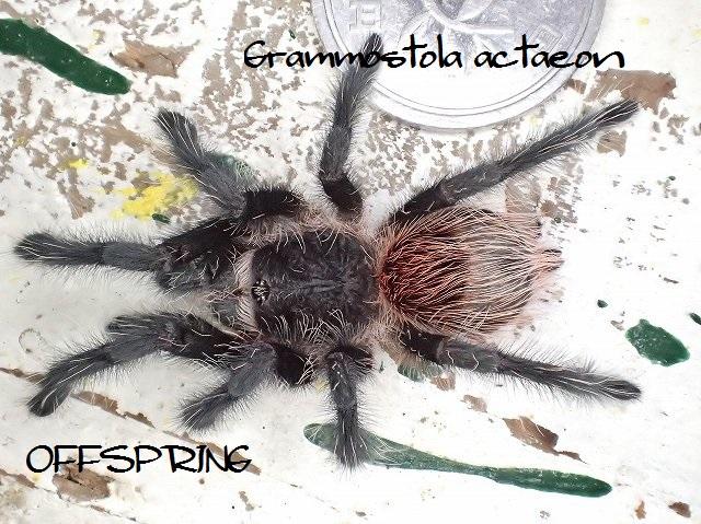 Grammostola actaeon2015eu01