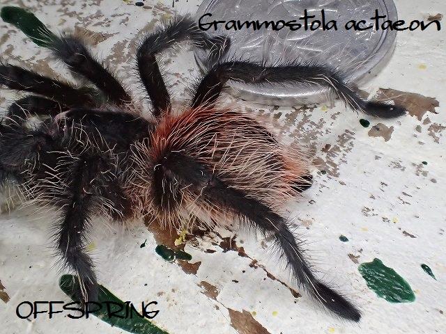 Grammostola actaeon2015eu02