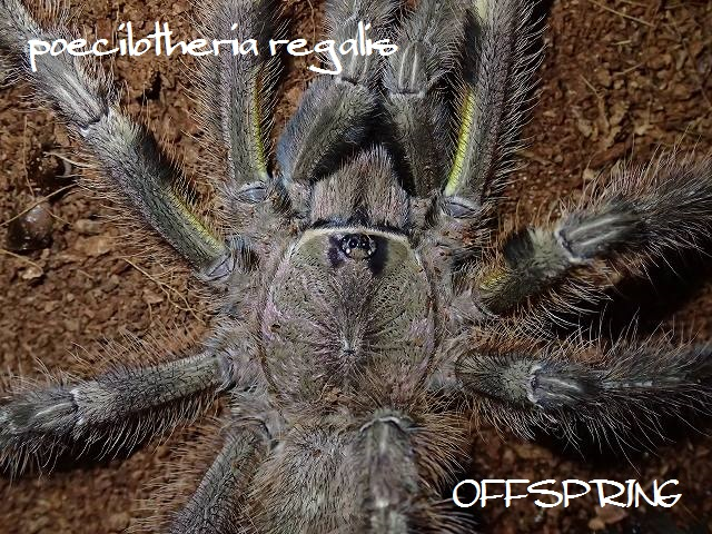 poecilotheria regalis2013male02