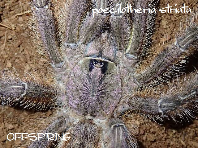 poecilotheria striata2013male02