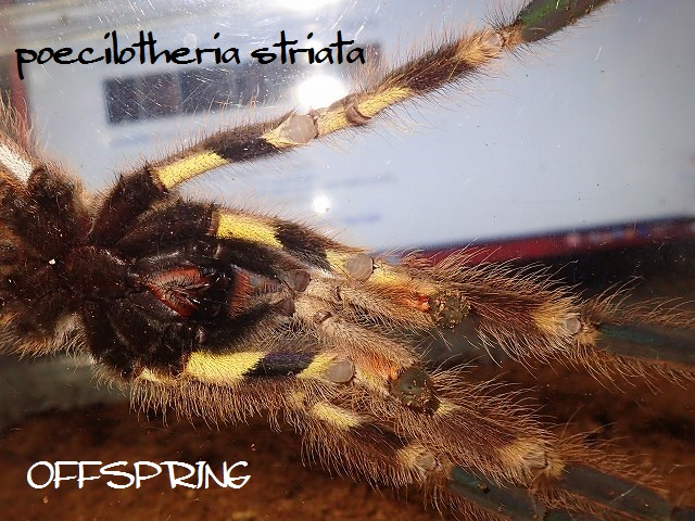 poecilotheria striata2013male03