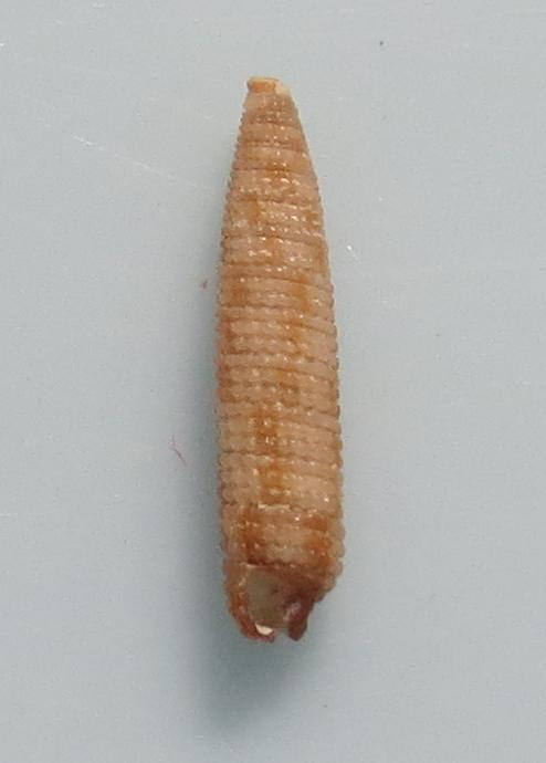 Viriola sp3