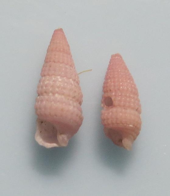 Viriola sp8