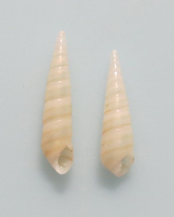 Bacteridium sp