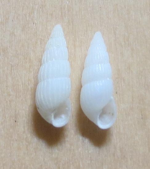 Pyrgiscus sp1