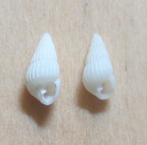 Pyrgiscus sp3