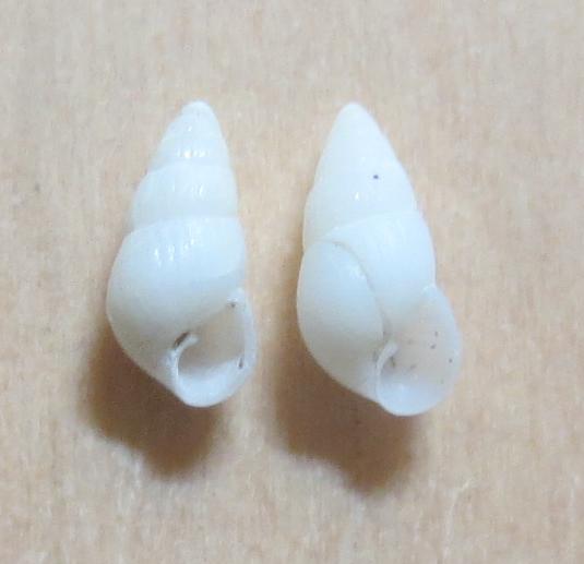 Pyrgiscus sp4