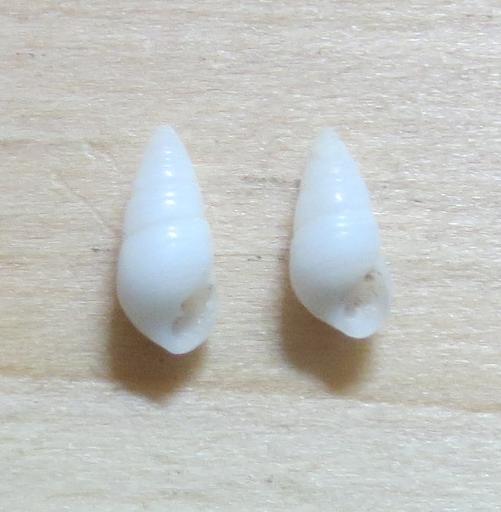 Miralda sp