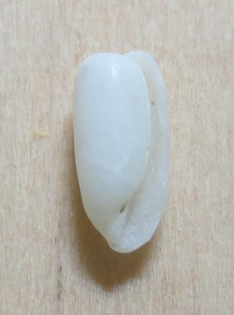 Adamnestia sp