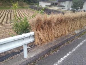 150901稲刈り