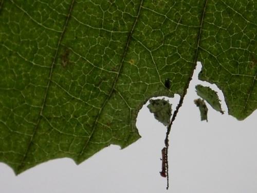 スミナガシ幼虫1齢