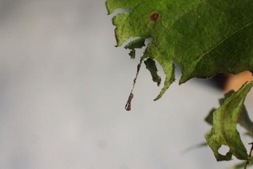 スミナガシ幼虫4号1齢