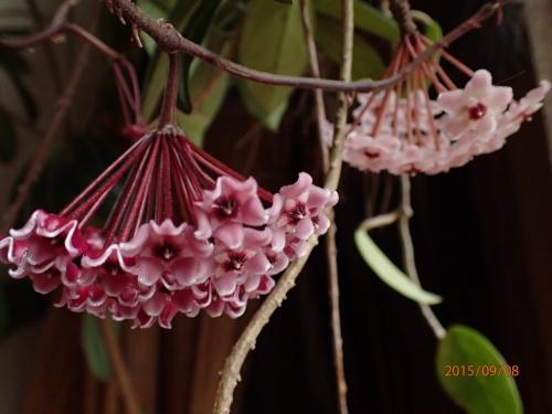 ホヤ・サクラランの花