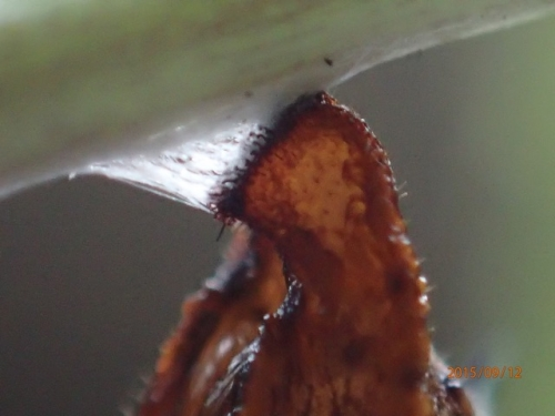 ツマグロヒョウモン 蛹の付け根 懸垂型