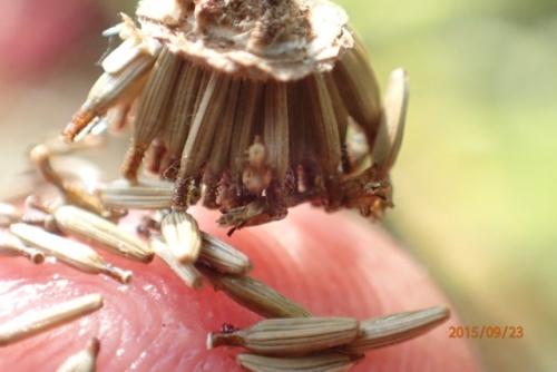 ガンクビソウ 種子