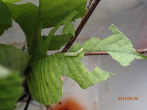 アワブキに居た幼虫