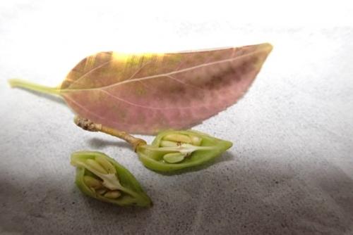 レンギョウ種子1