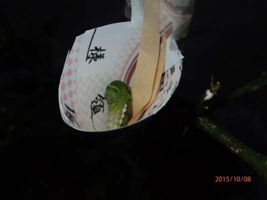 アゲハ前蛹救出