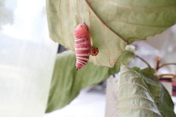 アオバセセリ 蛹