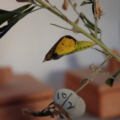 キチョウの蛹羽化直前の色