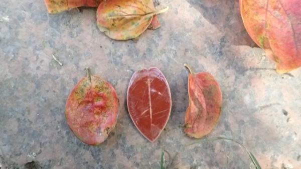 柿の落ち葉に偽物の葉