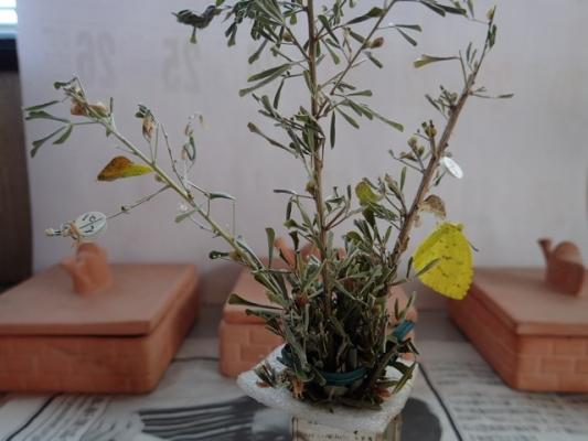 キチョウ 蛹と成蝶