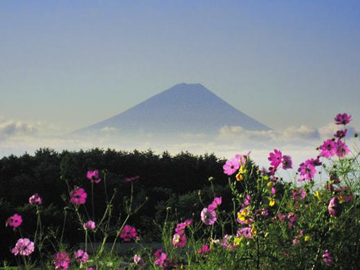 秋桜と富士山