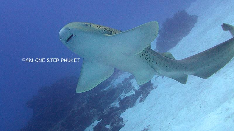 プーケット ダイビング サメ