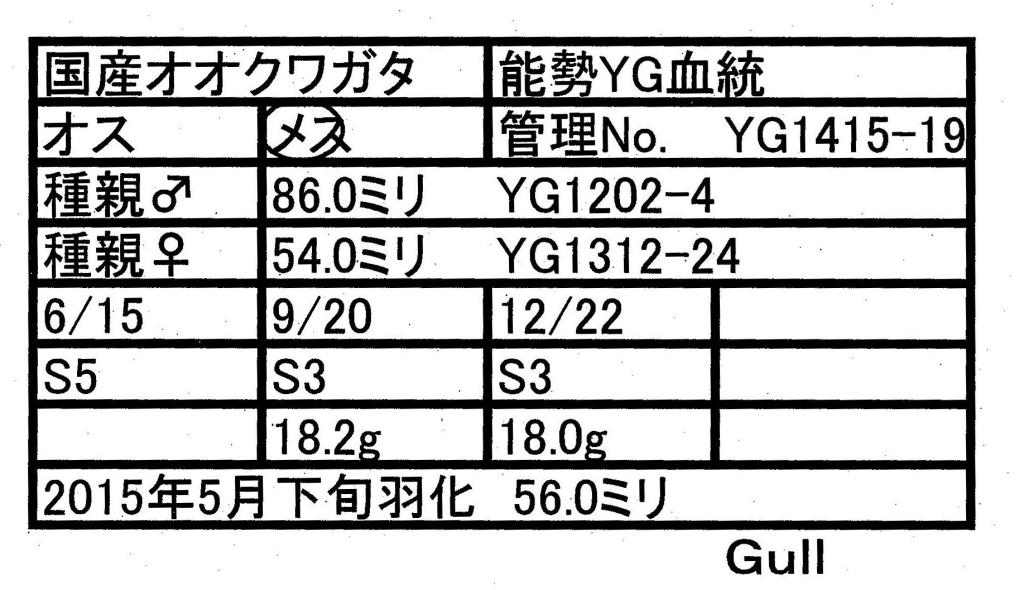 Gull-YG1415-19♀-56mm