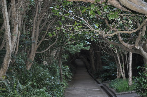 足摺岬椿のトンネル