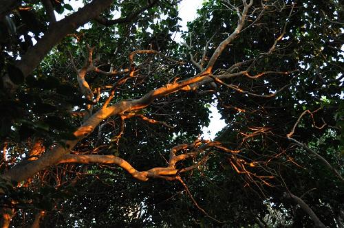 椿の木に映える夕陽