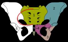Skeletal_pelvis-pubis_svg.png