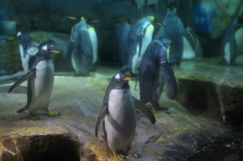 海遊館 ペンギン