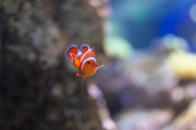 海遊館 ニモ カクレクマノミ